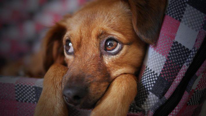 Hund Angst CBD